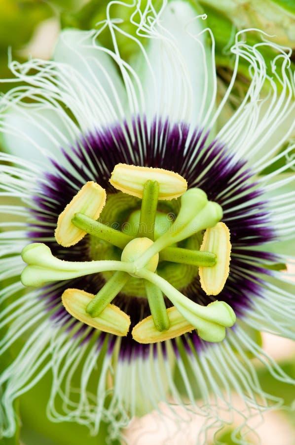 Download Passion Fruit Flower Closeup Stock Photo - Image: 16247068