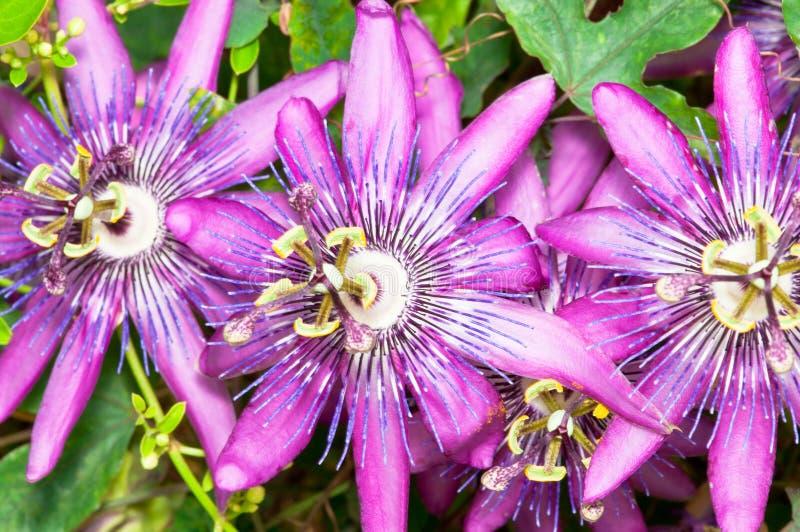 Passion Fruit Flower Closeup. A closeup blossom of purple passion fruit flower stock image