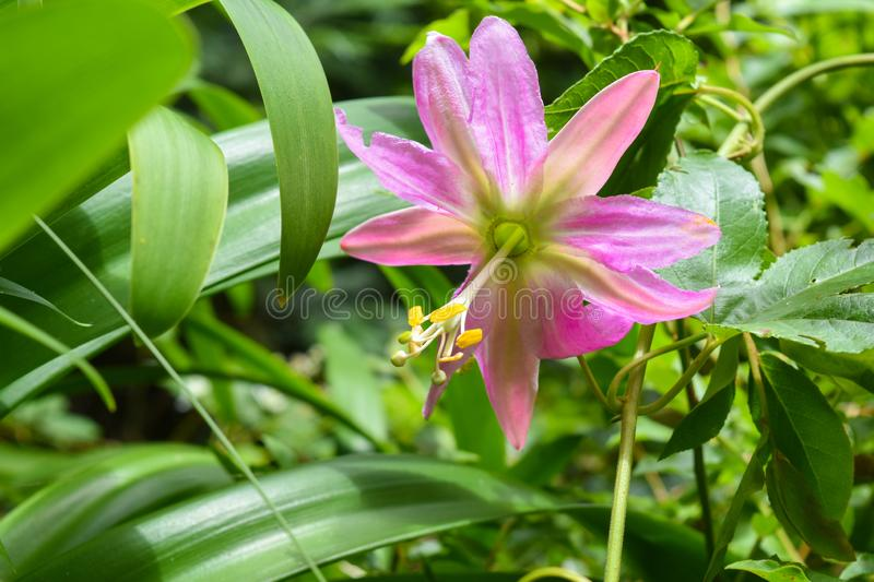 Passion fruit flower - Passiflora stock image