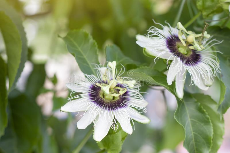 Passion fruit flower on tree with nature background. Passion fruit flower on tree with nature background and sunlight stock photography