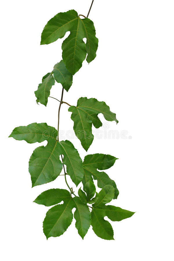 Passion fruit green leaves climbing vine isolated on white background, clipping path included. stock images