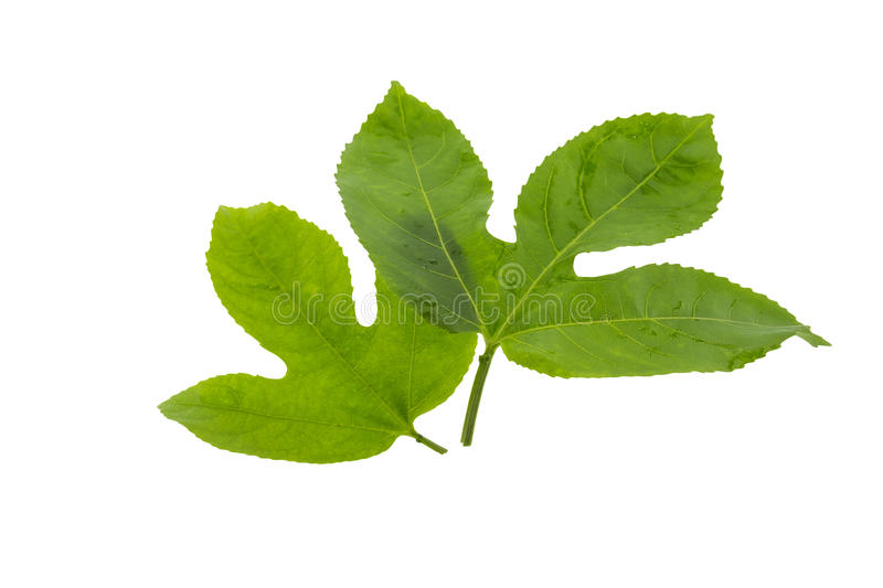 Passion fruit leaves isolated on white stock images