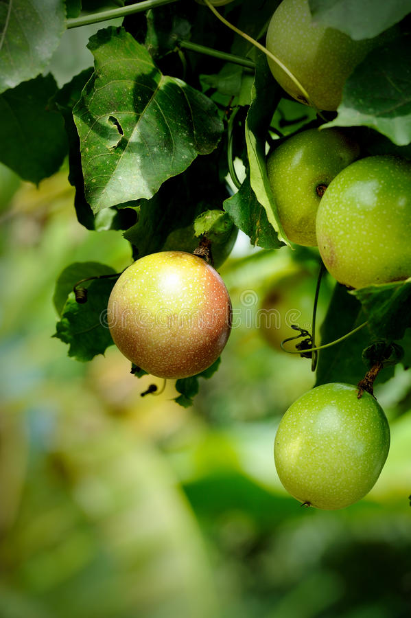 Free Passion Fruit On The Vine Royalty Free Stock Photos - 25539818