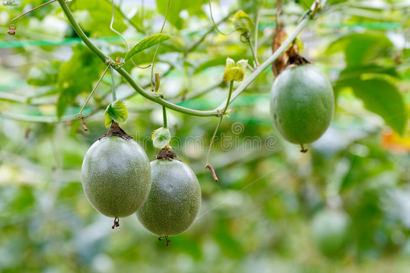 Passion Fruit. / Passionfruit (Passiflora edulis) growing and have fresh fruits on the vine stock photo