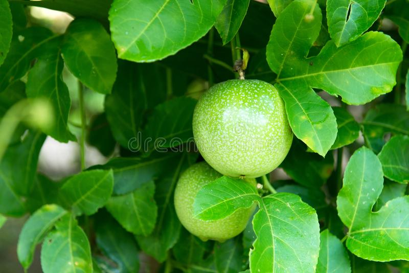 Passion fruit plant. Green passion fruit growing on the vine royalty free stock photo