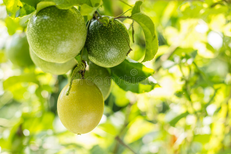 Passion fruit stock photography