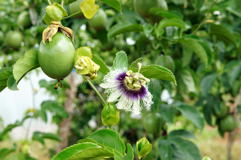 Passion fruit, vitamin C, healthy food, passionfruit. Agriculture field, passion fruit is nutrition Vietnam fruit, rich vitamin C, healthy food, creeper with stock images