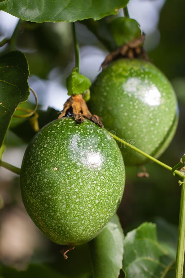 Passion Fruits On The Vine Royalty Free Stock Photography