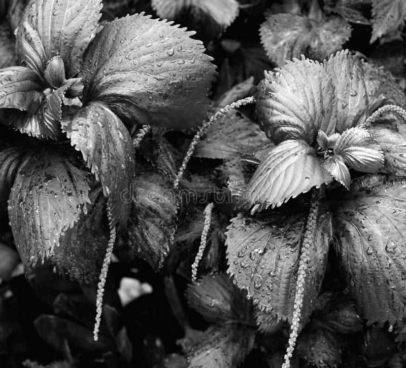 Passion plant in black and white royalty free stock photos