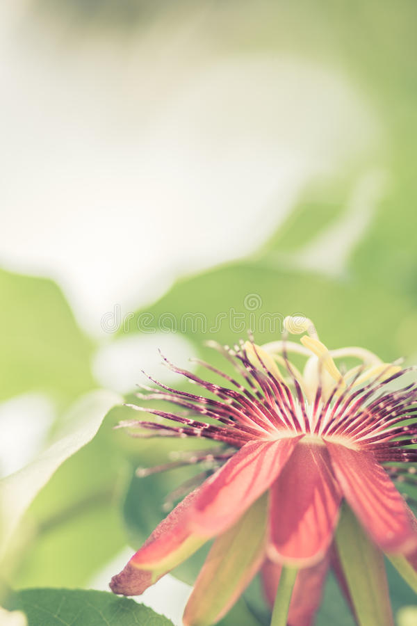Download Passion Vine Flower stock photo. Image of yellow, fertile - 28769864