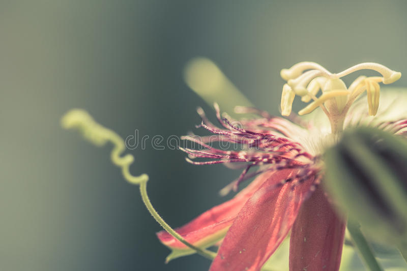 Passion Vine Flower. The flower of the passion fruit vine stock photography