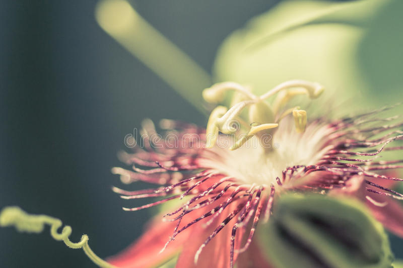 Passion Vine Flower. The flower of the passion fruit vine royalty free stock photos