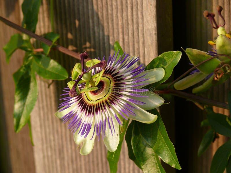 passionflower στοκ φωτογραφίες