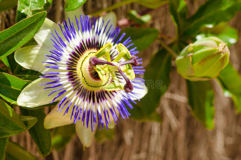 Passionflower και οφθαλμός στοκ φωτογραφίες με δικαίωμα ελεύθερης χρήσης