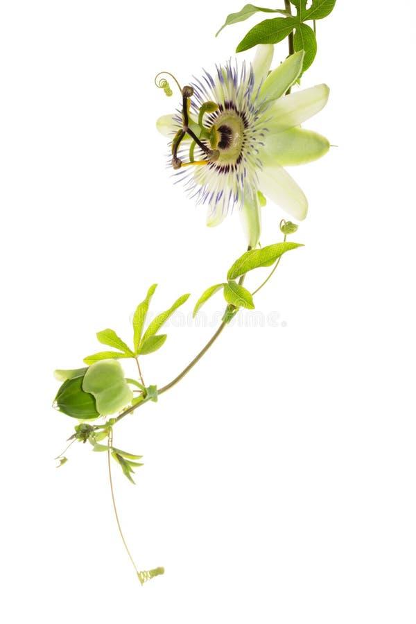 Passionflower με έναν οφθαλμό στο λευκό στοκ φωτογραφία με δικαίωμα ελεύθερης χρήσης