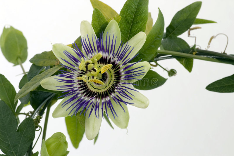passionflower πορφύρα στοκ εικόνες με δικαίωμα ελεύθερης χρήσης