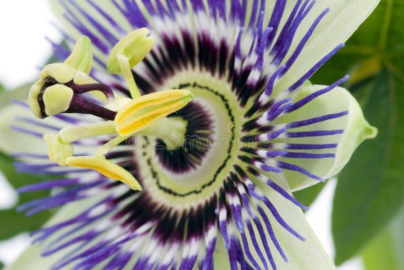passionflower πορφύρα στοκ φωτογραφία με δικαίωμα ελεύθερης χρήσης