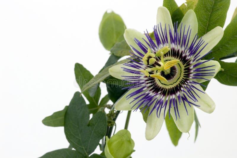 passionflower πορφύρα στοκ εικόνα με δικαίωμα ελεύθερης χρήσης