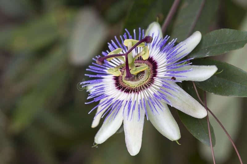 Passionflower στον κήπο στοκ φωτογραφίες με δικαίωμα ελεύθερης χρήσης