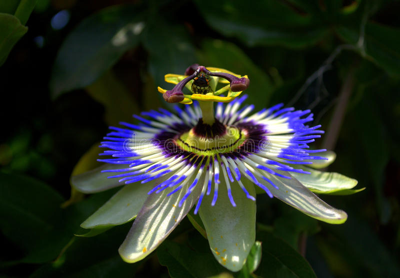 passionflower photographie stock