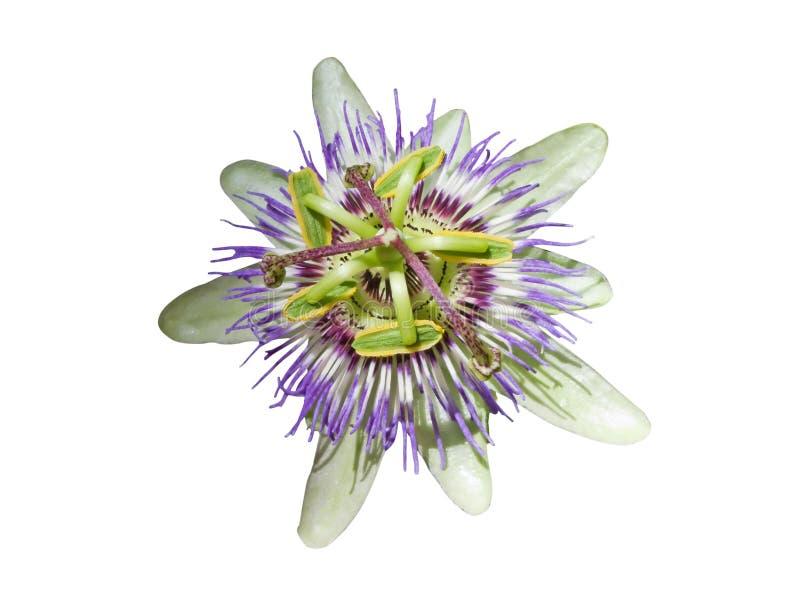 passionflower στοκ φωτογραφία με δικαίωμα ελεύθερης χρήσης