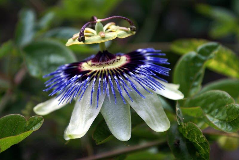 passionflower στοκ φωτογραφίες με δικαίωμα ελεύθερης χρήσης