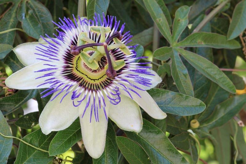 passionflower image libre de droits