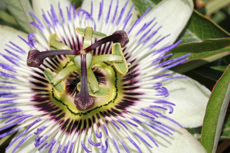 passionflower photographie stock libre de droits