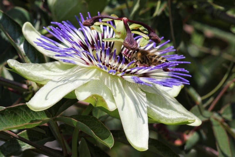 passionflower photos libres de droits