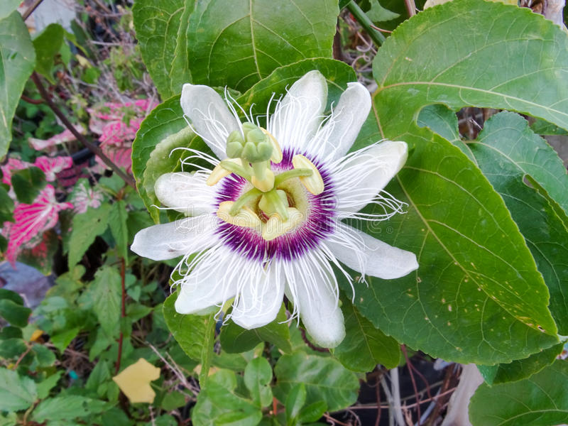 passionflower images stock
