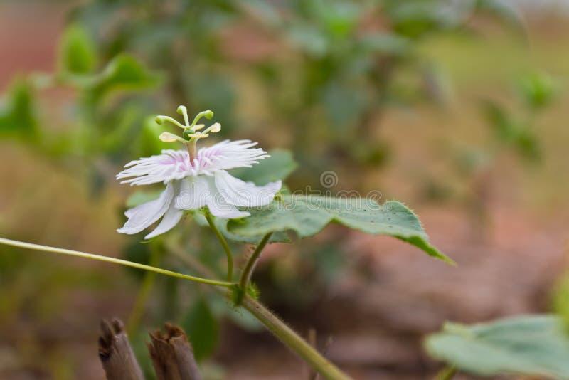 Passionflower foetida obraz stock