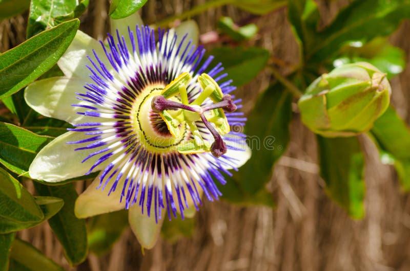 Passionflower i pączek zdjęcia royalty free