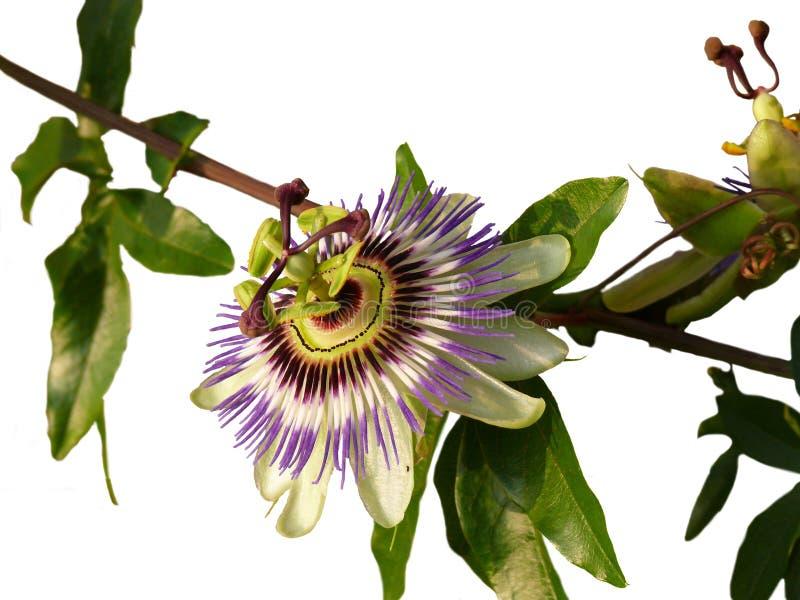 passionflower zdjęcie stock