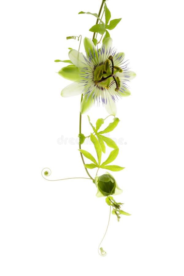 Passionflower na bielu, odizolowywającym zdjęcie stock