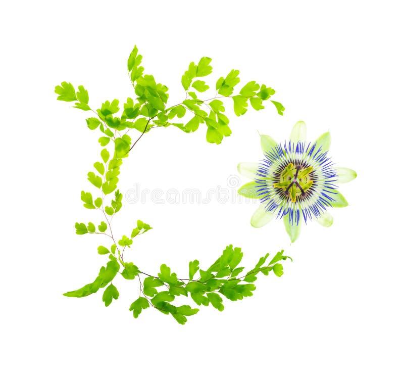 Passionflower otaczają z ornamentem od Maidenhair liści obraz stock
