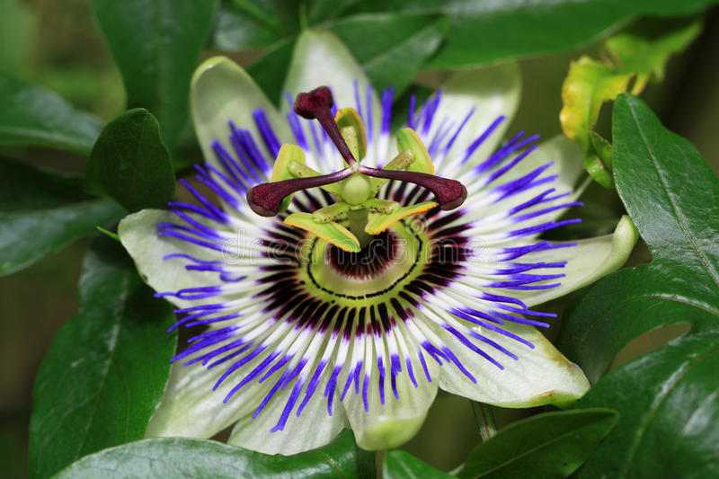 Passionflower (Passiflora caerulea) is a creeper. There are about 400 species of tropical passion flowers royalty free stock image
