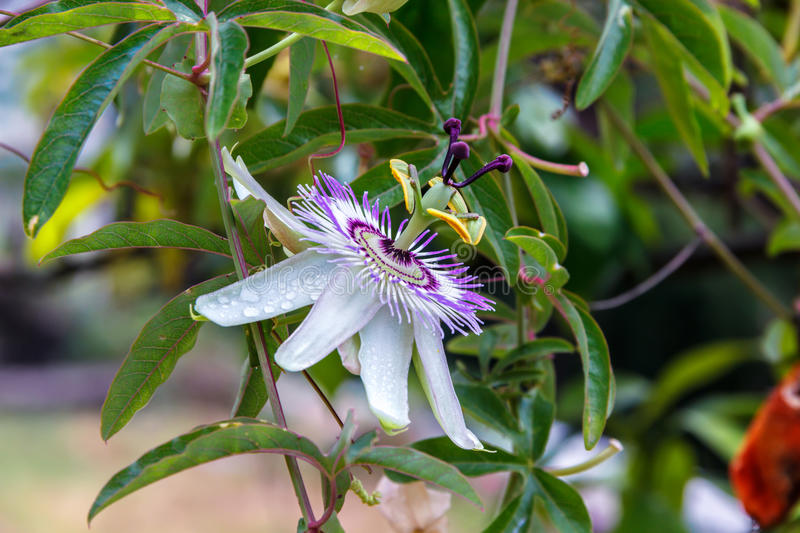 Passionflower (Passiflora caerulea) kwiat obrazy royalty free