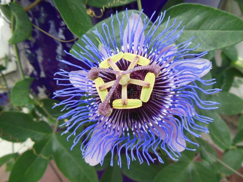 Passionflower passiflora kwitnienie z pojedynczym kwiatu zbliżeniem obraz stock