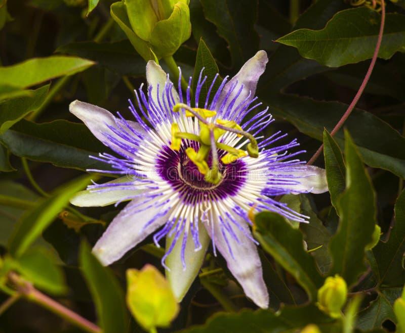 passionflower Passiflora passionflower z rosy wody kroplami obraz royalty free