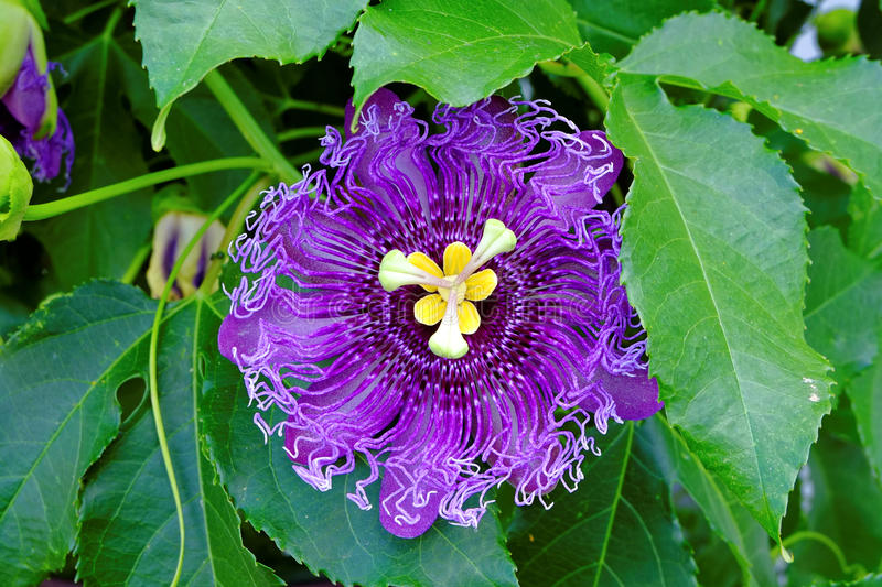 Passionflower purple bloom and green leaves royalty free stock photos