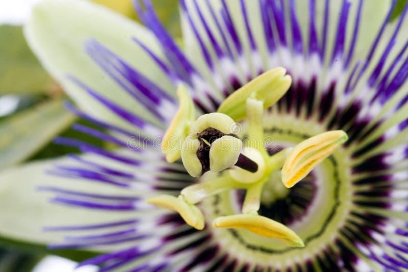 passionflower purpurowy obraz royalty free