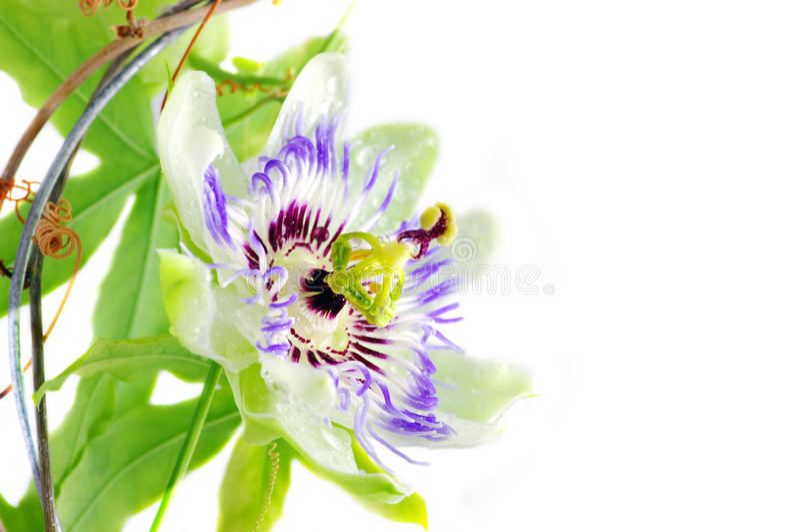 passionflower purpury fotografia royalty free
