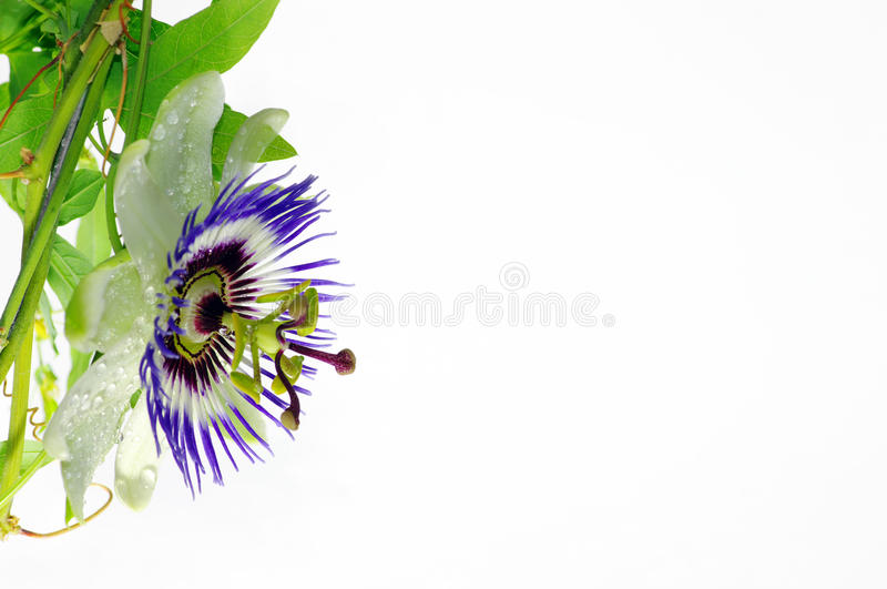 Passionflower roxo foto de stock royalty free