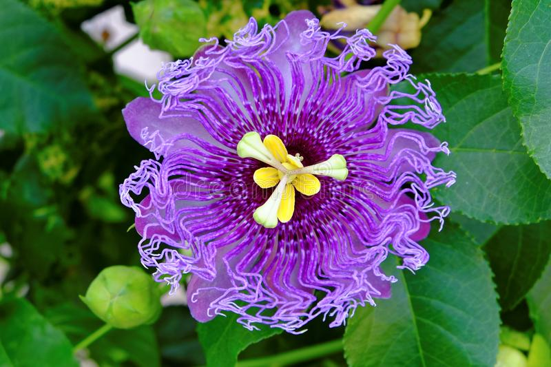Passionflower ultra violet bloom in green leaves royalty free stock images