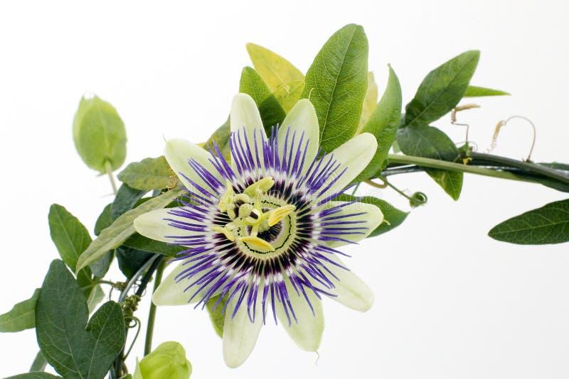 Passionflower viola fotografia stock