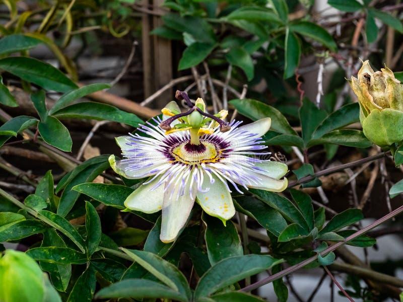 Passionflower w kwiacie od strony zdjęcia stock
