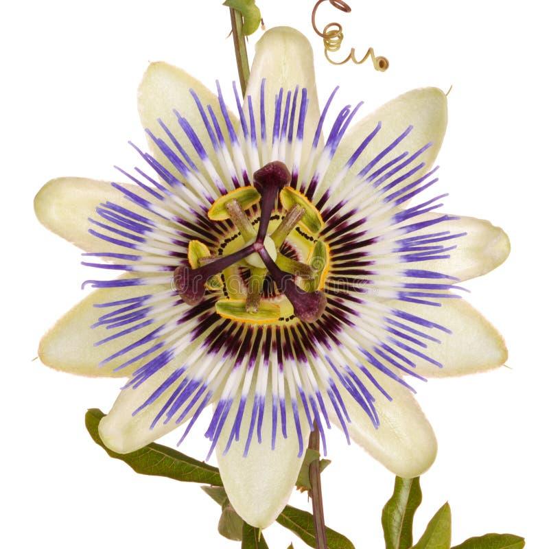 Passionflower z liśćmi i tendrils fotografia royalty free