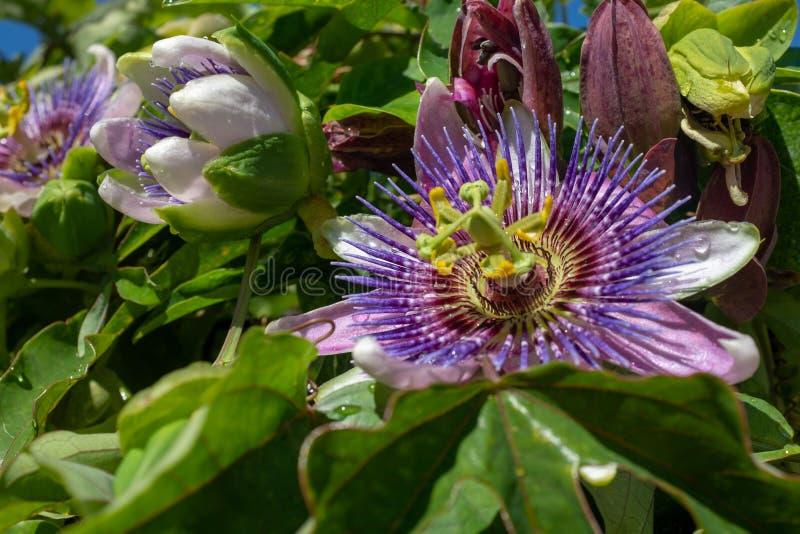 Passionflower z W górę wody opuszcza w Wiedeń ogródzie botanicznym fotografia royalty free