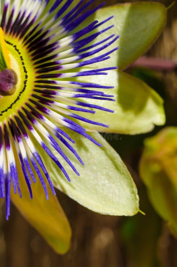 Passionflower zbliżenie zdjęcie stock