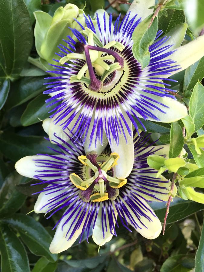 passionflowers obrazy royalty free